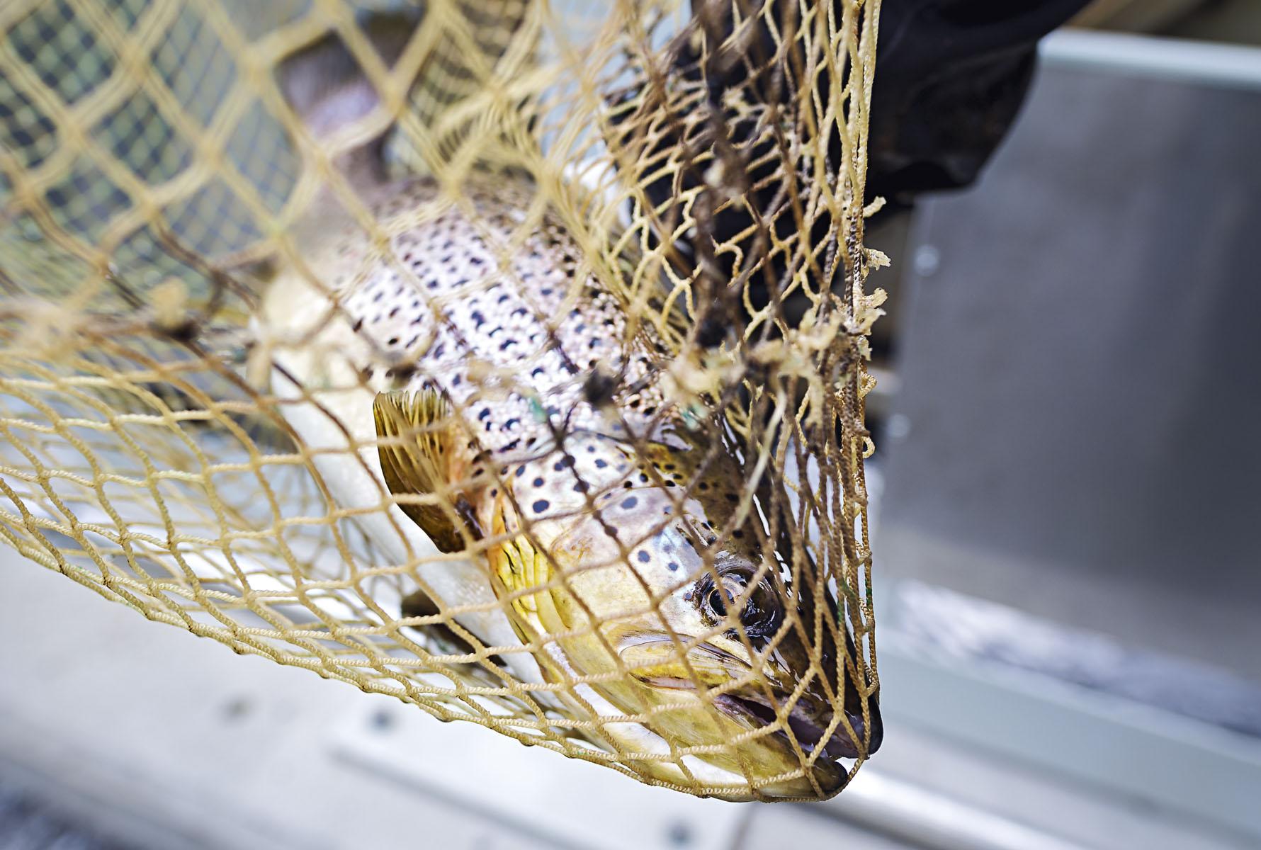 Kalat uivat Montan ylisiirtolaitteeseen kahdesta eri tavoin suunnatusta suuaukosta.